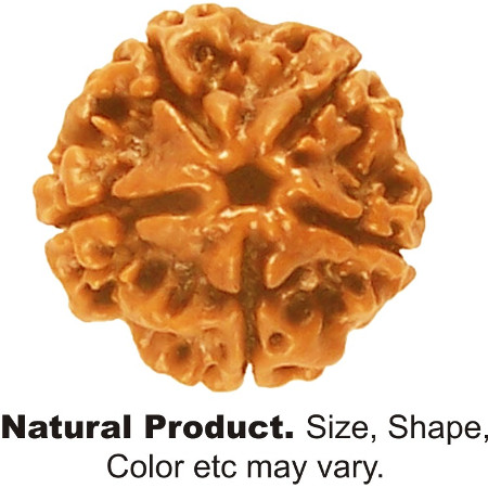 Buy Rudraksha 1 mukhi Nepal Round Astrology Remedial